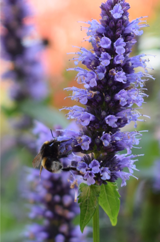 anise hyssop bloom