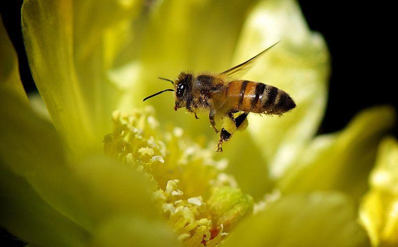 Bee_on_flower